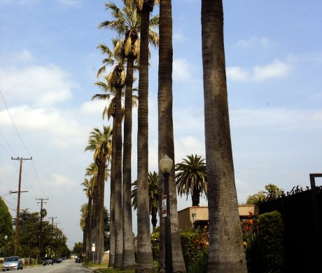 Row of Palm Trees in Alhambra, CA